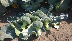 Beneforte broccoli grown by ESG